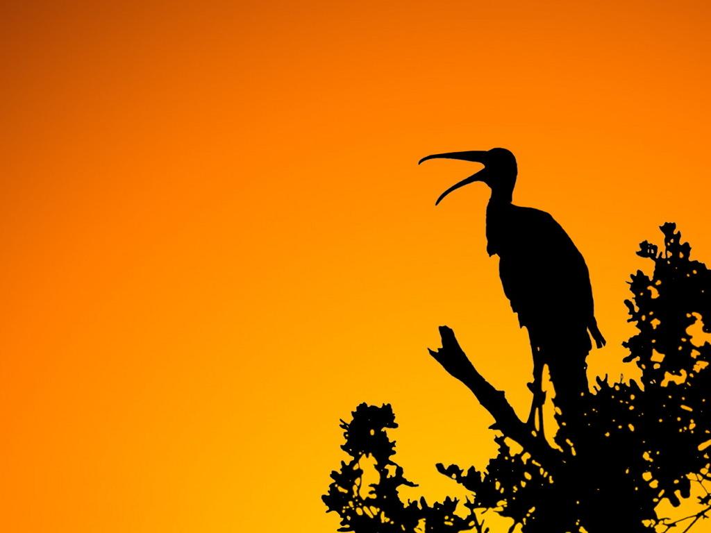 Nature Wallpaper:  Woodstork - Sunset