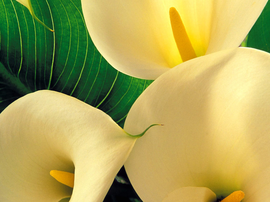 Nature Wallpaper: Yellow Calla Lilies
