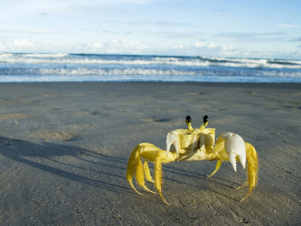 Nature Wallpaper: Yellow Crab