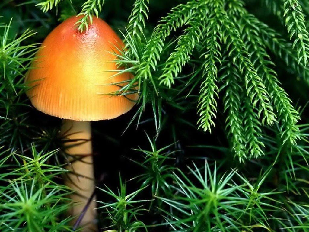 Nature Wallpaper: Mushroom