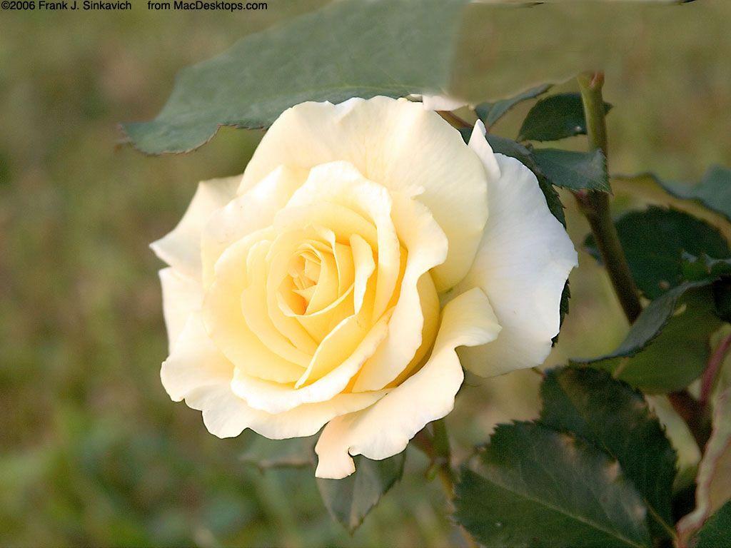 Nature Wallpaper: Yellow Rose