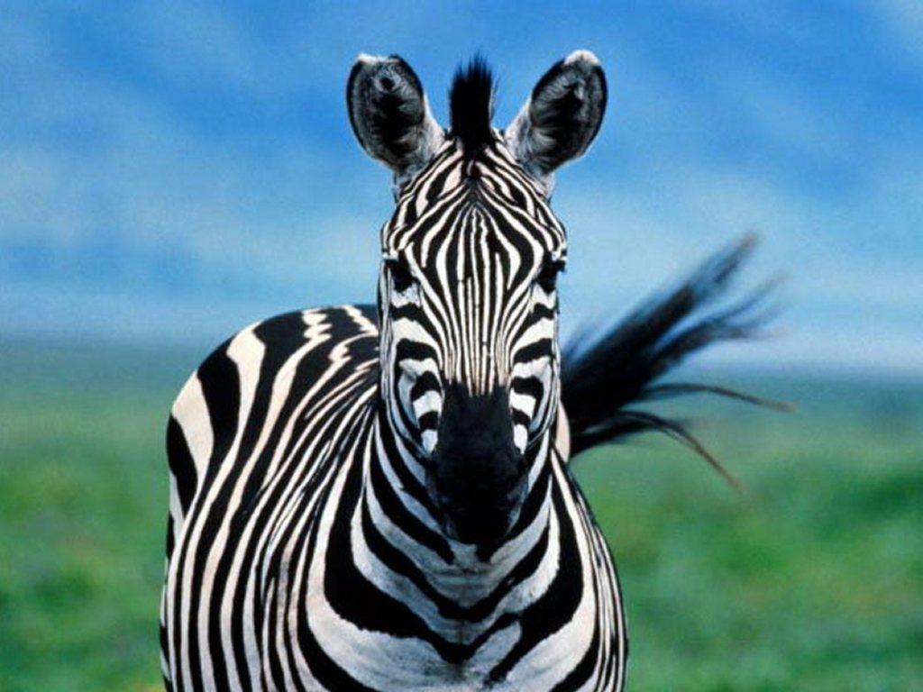 Nature Wallpaper: Zebra