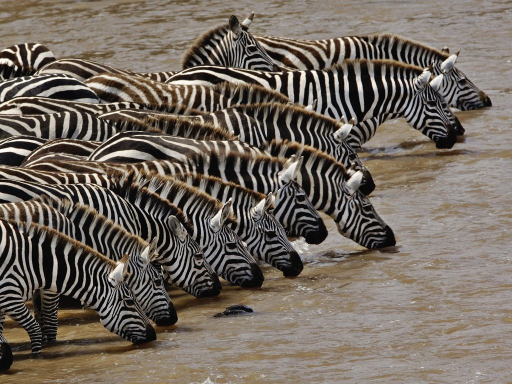 Nature Wallpaper: Zebras