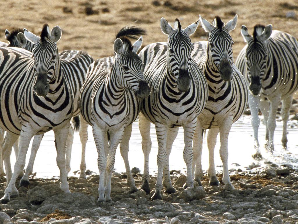 Nature Wallpaper: Zebras